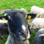 Valašská ovca