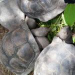 Korytnačky obrovské