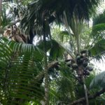 Palmy Coco de Mer