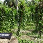Vanilkové plantáže
