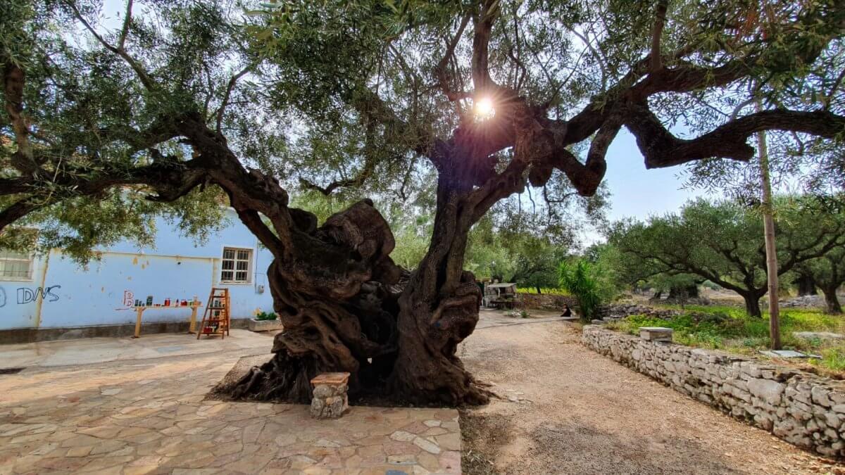 Exo Chora olive tree